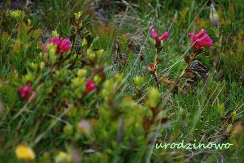 Dla Kawuso z okazji urodzin kwiaty z alpejskich łąk z najlepszymi życzeniami :)