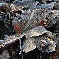 mroźnie #liście #natura #rosliny