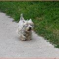 U Gosi #pies #podwórko #sznaucer #westie #wieś