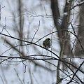 Sikoreczka #PtakPtaki #sikorka #sikorki #zima #las
