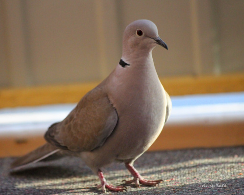 jeszcze krok i będę w pokoju ... :))) **** ulub. gonzki; Marcin033 **** #cukrówki #gołębie #NaBalkonie #ptaki #wiosna #sierpówki