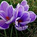 sezon w ogródku rozpoczęty ... :)) #kwiaty #OgródWiosna #krokusy