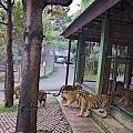 Z wizyta u tygrysów #azja #tajlandia #tygrys #tygrysy