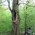 Okazałe dęby w lesie #dąb #dęby