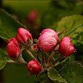Kwiat jabłoni #DrzewaOwocowe #jabłoń #kwiat