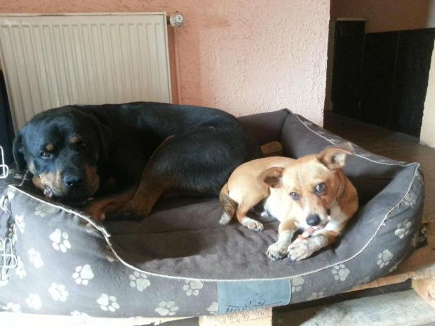#adopcja #fundacja #hodowla #pies #psy #rottka #rottweiler