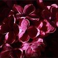 Bez ... jednego płatka #bez #kwiat #wiosna
