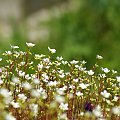 ... drobnica ... :) #kwiaty #łąka #ogród #przyroda #wiosna