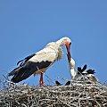 pora karmienia #ptaki #bociany