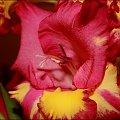 Mieczyk ... gęsto kwieciem obsypany :) #Mieczyk #kwiat
