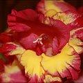 Mieczyki ... zakwitły nadzwyczaj pięknie tego roku :) #Mieczyk #kwiat