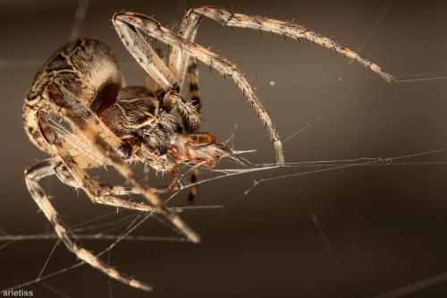 Ślinka cieknie... #arietiss #fauna #makro #owady #pająk