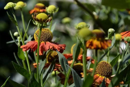 Dzielżan ogrodowy (Helenium hybrida) #kwiaty #las #lato #przyroda