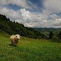 Owieczki #Owieczki #Owce #Palenica