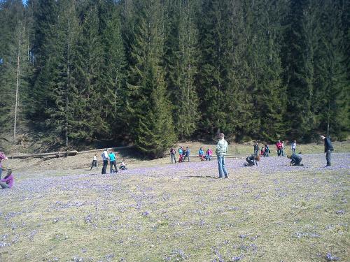 Krokusy w Dolinie Chochołowskiej #góry #Tatry #Zakopane