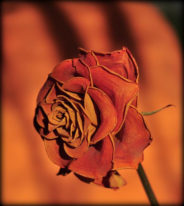 Róży życie po życiu