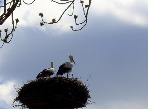 ... i po wszystkim ... #bociany #Chomiąża #ptaki #wieś #wiosna