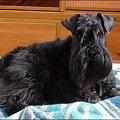 #pies #sznaucer #SznaucerMini #sznup #Zibi