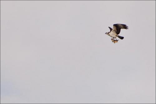 niech łup zrekompensuje kiepską jakość #drapieżnik #ptaki