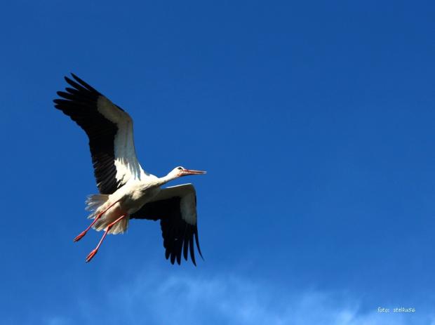 """31 maja - Dzień Bociana Białego ustanowiony w 2002, obchodzony jest od 2003 roku dzięki inicjatywie Polskiego Towarzystwa Przyjaciół Przyrody """"pro Natura"""" ... #bociany #ptaki #wiosna"""