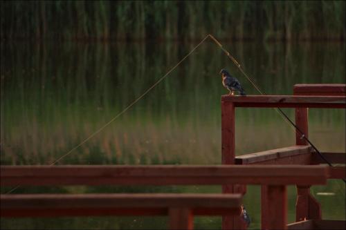 gołąb- wędkarz :)