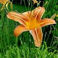 Liliowiec #kwiatki