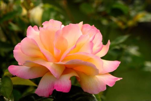 ... z mojego ogrodu :) #KwiatRóża