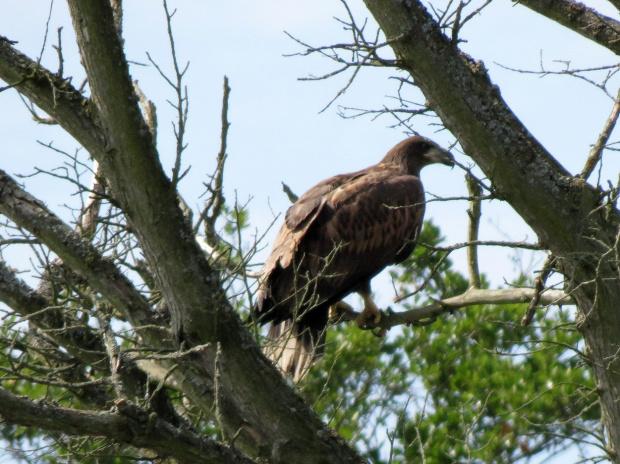 Niektórzy zachwycają się pięknem orła bielika, ale ja go nie lubię. Nieraz widziałam jak polował na kaczki i młode łabądki;