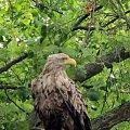 Dedykuję Kawuso - bliskie spotkanie z orłem bielikiem rok temu;