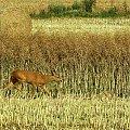 taki obrazek mi się dzisiaj trafił :) #lato #przyroda #ptaki #zwierzęta #żniwa