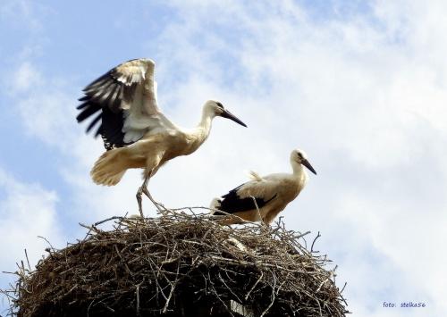 ćwiczenia skrzydeł ... #bociany #Chomiąża #lato #ptaki