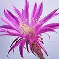 Echinopsis hybr. #kaktusy