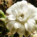 Gymnocalycium anisitsii #kaktusy