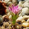 Gymnocalycium damsii v. rotundulum VoS 03-049 #kaktusy