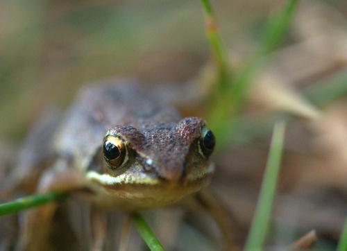 Żaba z lasu